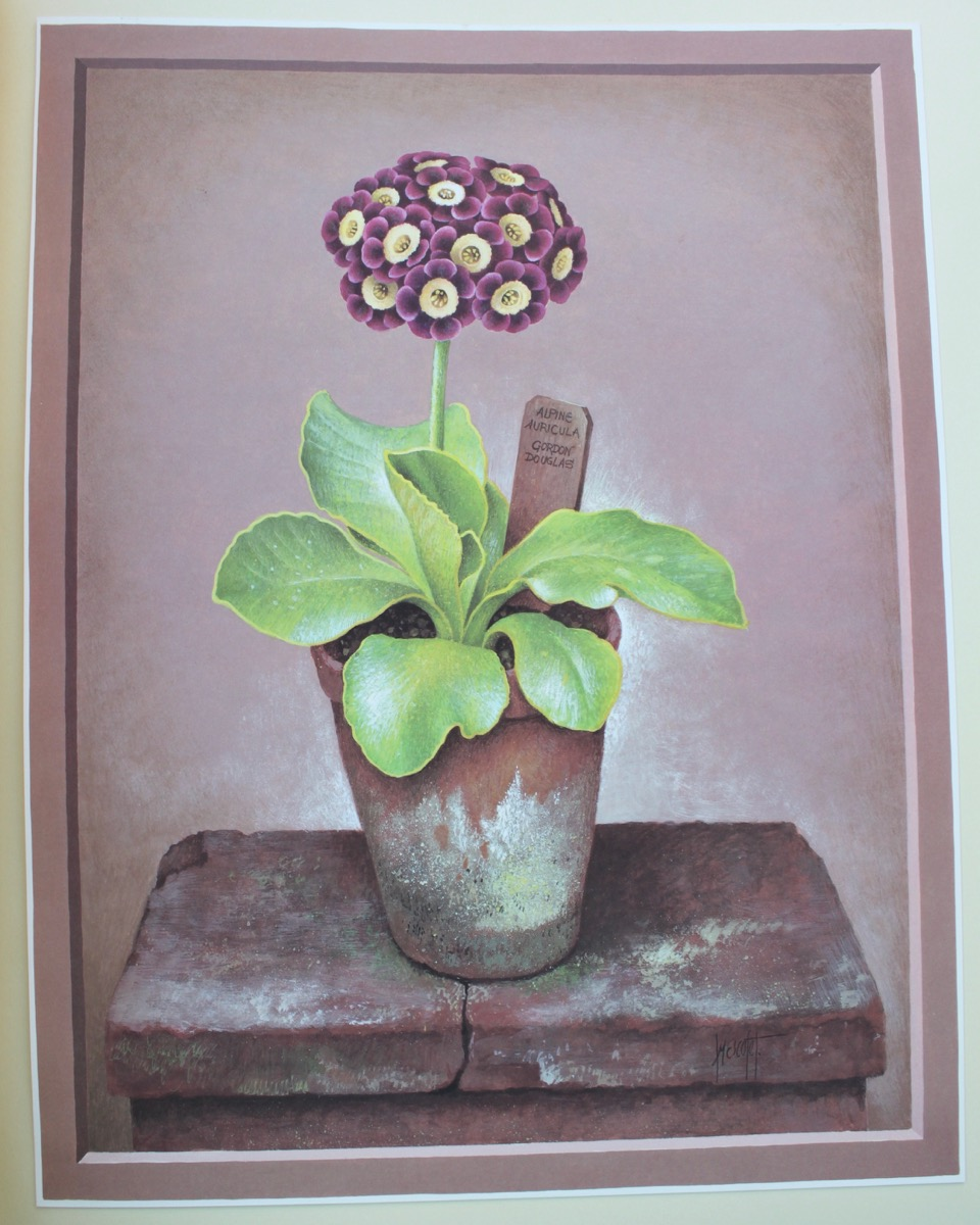 Image for The Auricula. [Twelve paintings by José Escofet.] With text by Brenda Hyatt.
