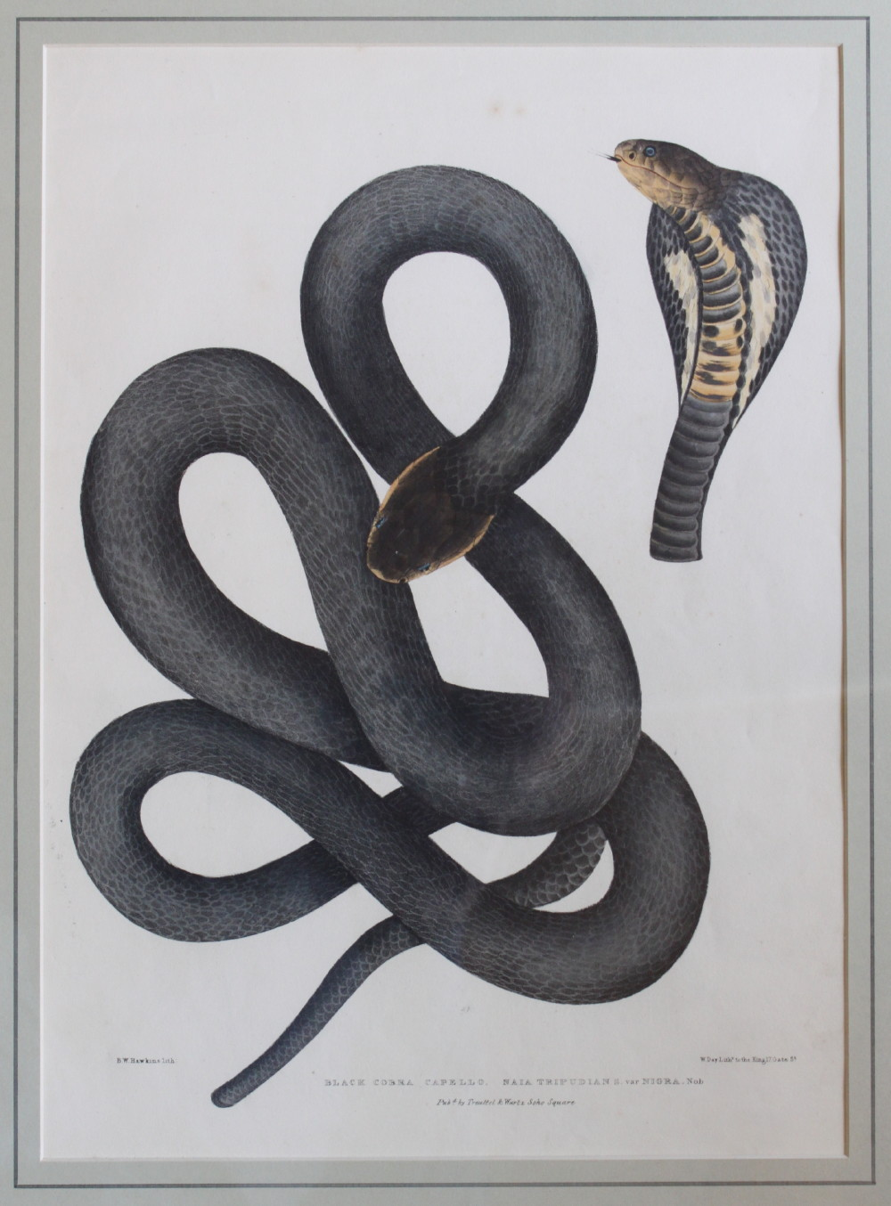 Image for Black Cobra Capello. Naia Tripudian S. var Nigra.